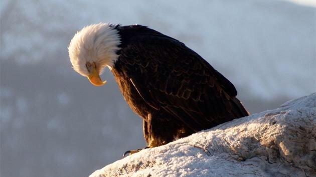 sad_eagle